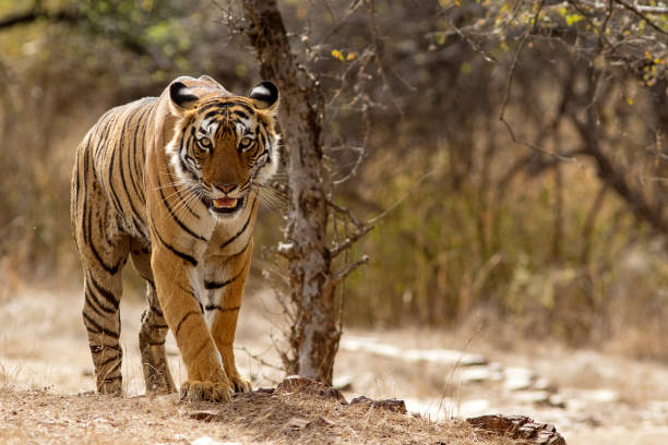 Bengal Tiger at Ranthambhore National Park in Rajasthan, India:スマホ壁紙(壁紙.com)