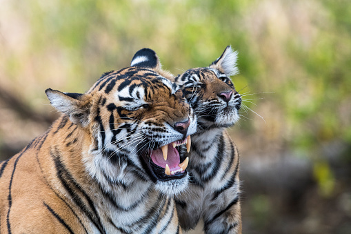 Rajasthan「Bengal tiger mother interacting with cub」:スマホ壁紙(9)