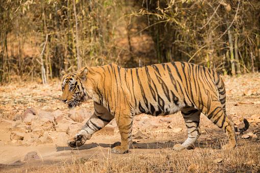 Walking「Bengal tiger」:スマホ壁紙(17)