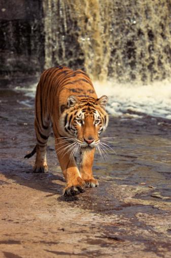 Approaching「Bengal Tiger」:スマホ壁紙(11)