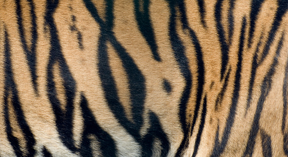 Animal Body「Bengal Tiger fur close up」:スマホ壁紙(10)