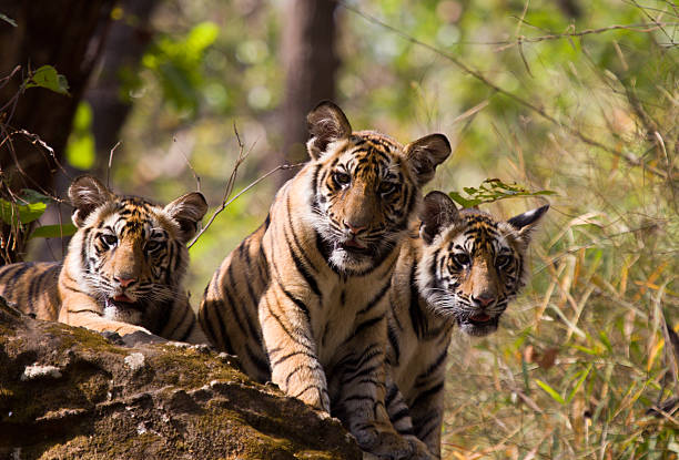 Bengal Tigers in Bandhavgarh NP, India:スマホ壁紙(壁紙.com)