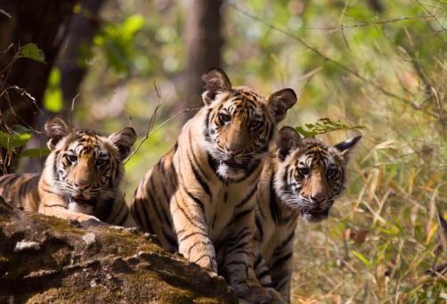 Animals Hunting「Bengal Tigers in Bandhavgarh NP, India」:スマホ壁紙(17)