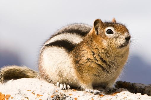 Squirrel「Golden-Mantled Ground Squirrel」:スマホ壁紙(14)