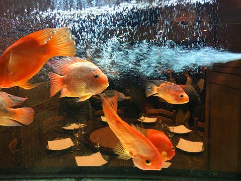 Music Festival「goldfish swimming in the aquarium of a Thai restaurant in Paris」:スマホ壁紙(16)