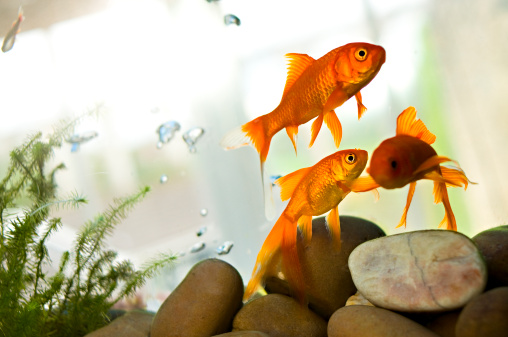 Domestic Animals「Goldfish swimming in tank」:スマホ壁紙(3)