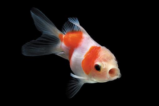 Goldfish「Goldfish swimming in fish tank」:スマホ壁紙(9)