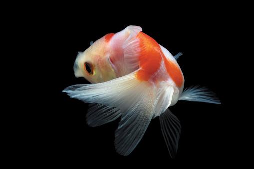 Goldfish「Goldfish swimming in fish tank」:スマホ壁紙(7)