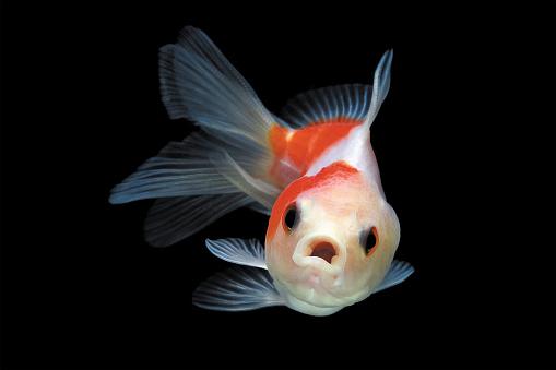 Goldfish「Goldfish swimming in fish tank」:スマホ壁紙(6)