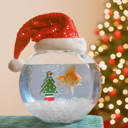Santa Hat「Goldfish swimming in bowl decorated with santa claus hat」:スマホ壁紙(10)