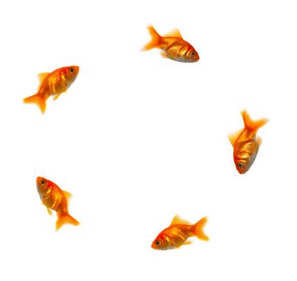 Carp「Goldfish swimming in a circle」:スマホ壁紙(16)