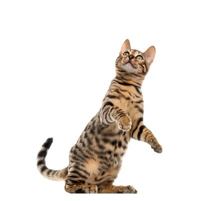 ベンガル猫「Bengal cat looking up」:スマホ壁紙(7)
