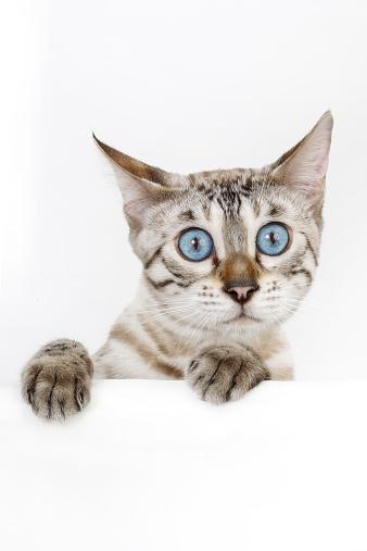 ベンガル猫「Bengal cat」:スマホ壁紙(2)