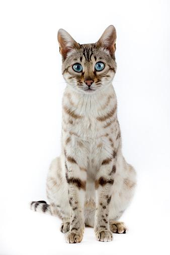 ベンガル猫「Bengal cat」:スマホ壁紙(9)
