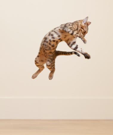 ベンガル猫「Bengal Cat jumping in the air」:スマホ壁紙(11)