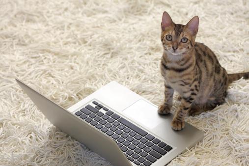 Purebred Cat「Bengal Cat with Laptop Computer」:スマホ壁紙(7)