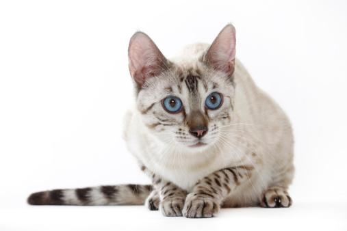 ベンガル猫「Bengal cat」:スマホ壁紙(8)