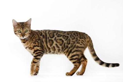 ベンガル猫「Bengal cat」:スマホ壁紙(12)
