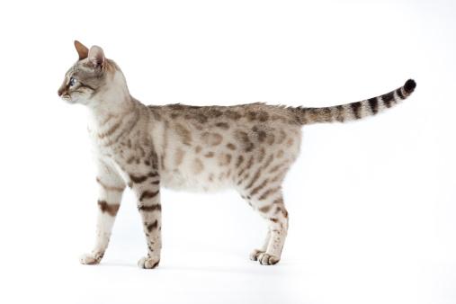 ベンガル猫「Bengal cat」:スマホ壁紙(19)