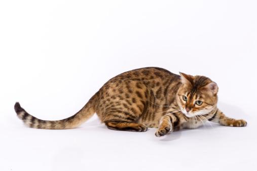 ベンガル猫「Bengal cat」:スマホ壁紙(16)