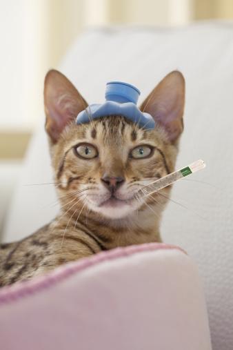 ベンガル猫「Bengal Cat with Hot Water Bottle and Thermometer」:スマホ壁紙(15)