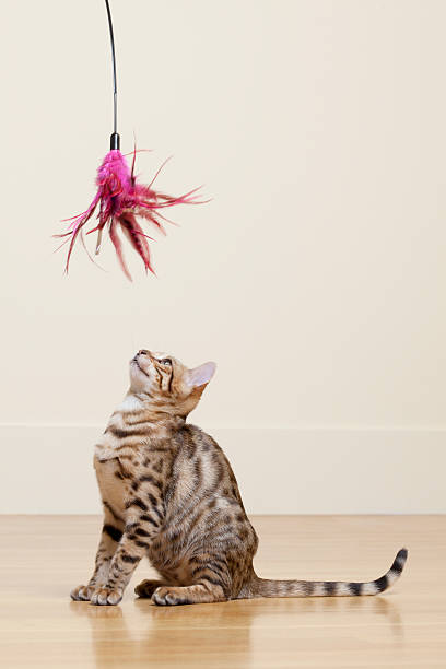 Bengal Cat looking at Feather Toy:スマホ壁紙(壁紙.com)