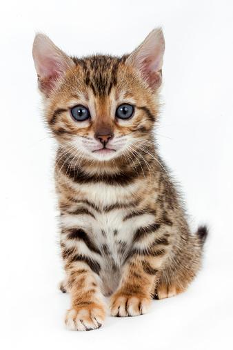 ベンガル猫「Bengal cat kitten」:スマホ壁紙(12)