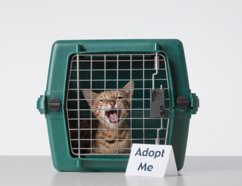 ベンガル猫「Bengal Cat in Cat Carrier with Adopt Me Sign」:スマホ壁紙(10)
