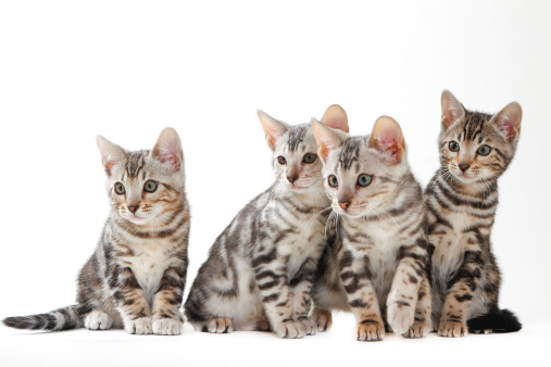 ベンガル猫「Bengal cat」:スマホ壁紙(6)