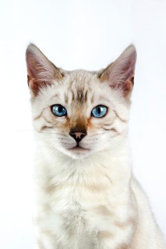 ベンガル猫「Bengal cat」:スマホ壁紙(3)