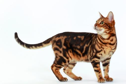 ベンガル猫「Bengal cat」:スマホ壁紙(11)