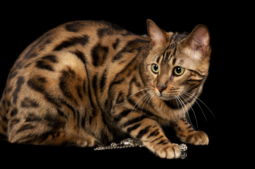 Crouching「Bengal Cat crouches and guards a gold necklace」:スマホ壁紙(0)