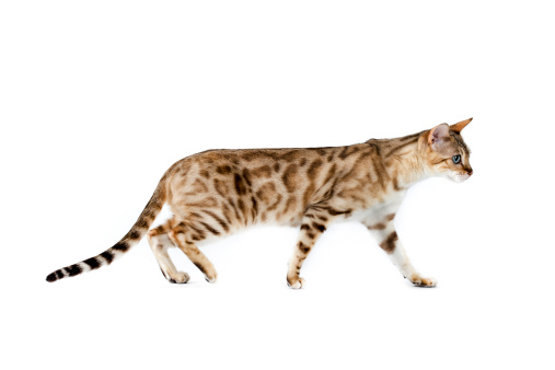 Walking「Bengal cat」:スマホ壁紙(4)