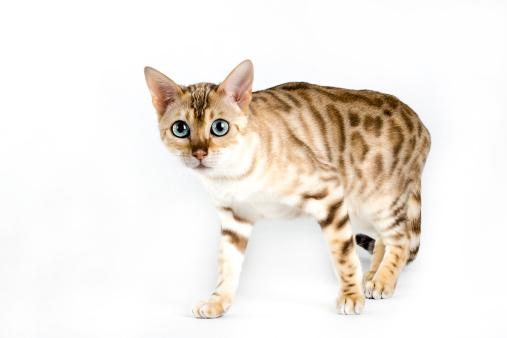 ベンガル猫「Bengal cat」:スマホ壁紙(4)