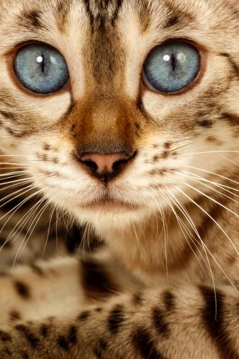 ベンガル猫「Bengal cat」:スマホ壁紙(18)
