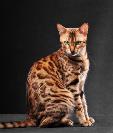 ベンガル猫「ベンガル猫のラウンジ」:スマホ壁紙(9)