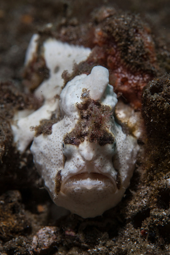 Furious「A painted frogfish blends into its environment.」:スマホ壁紙(9)