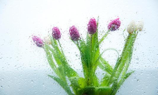 雨「Tulips seen through a rainy window」:スマホ壁紙(11)