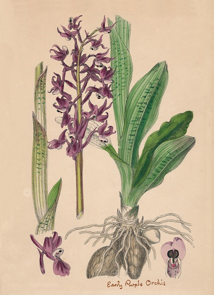 Petal「Orchis Mascula. Early Purple Orchis」:写真・画像(19)[壁紙.com]