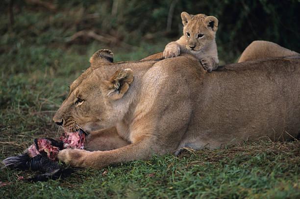 Lioness (Panthera leo) with cub on back, eating carrion, Kenya:スマホ壁紙(壁紙.com)