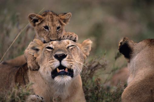 動物の赤ちゃん「Lioness (Panthera leo) with cub on back, on grass savannah, Kenya」:スマホ壁紙(14)