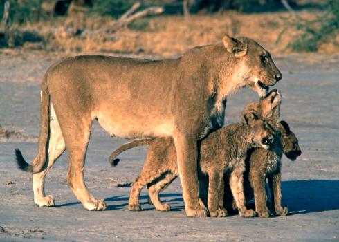 Named Animal「Lioness with 3 cubs」:スマホ壁紙(19)