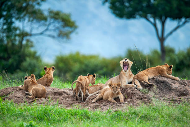 Lioness with cubs in the green plains of Masai Mara:スマホ壁紙(壁紙.com)
