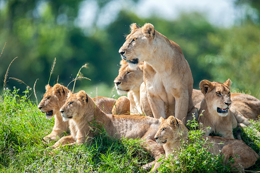 Masai Mara National Reserve「Lioness with cubs in the green plains of Masai Mara」:スマホ壁紙(13)