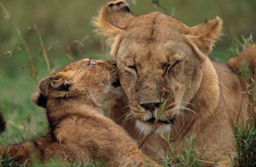 野生動物「Lioness (Panthera leo) with cub, on grass savannah, Kenya」:スマホ壁紙(9)