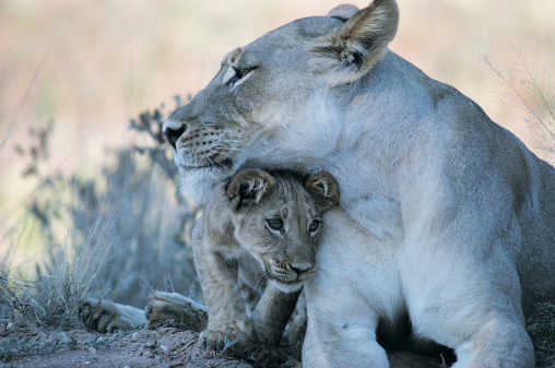 LOVE「Lioness With Cub in the Kalahari Desert, South Africa」:スマホ壁紙(11)