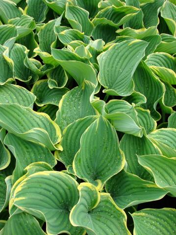 Hosta「Hosta Sagae Plant Leaves」:スマホ壁紙(2)