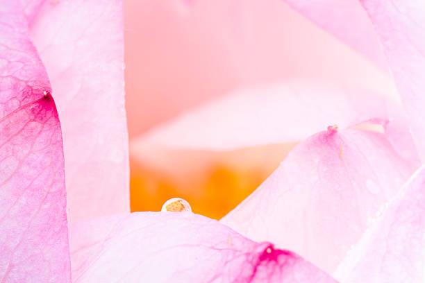 lotus drop:スマホ壁紙(壁紙.com)