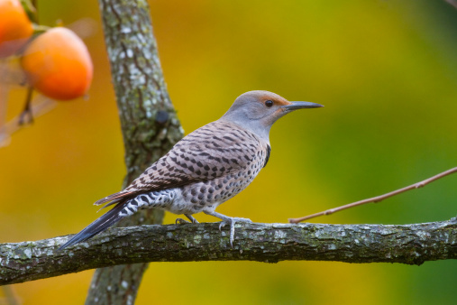 柿「Northern Flicker Female」:スマホ壁紙(16)