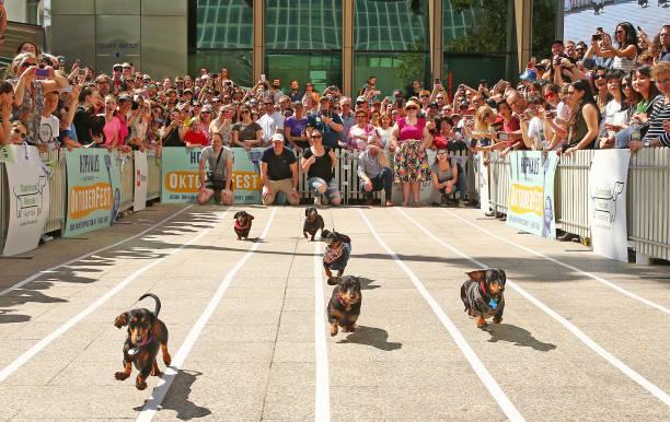 Annual Dachshund Race Celebrates Start Of Oktoberfest In Australia:ニュース(壁紙.com)